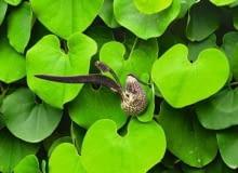 Encyklopedia roślin: Kokornak wielkolistny