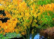 Encyklopedia roślin: Z klonem pensylwanskim jest mylony klon Dawida  Ma