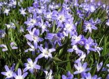 Encyklopedia roślin: Snieznik