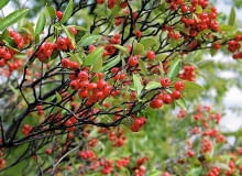Encyklopedia roślin: Aronia czerwonoowocowa