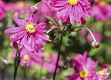 Encyklopedia roślin: ZAWILEC JAPONSKI  ANEMONE HUPEHENSIS   PAMINA  dor