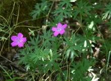 Encyklopedia roślin: Geranium sanguineum