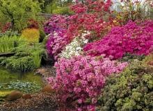 Encyklopedia roślin: Kompozycja z azalii wielkokwiatowych i japonskich