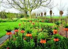 Encyklopedia roślin: Okazy Korony cesarskiej nie powinny rosnac w scisk