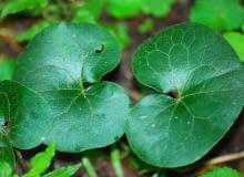 Encyklopedia roślin: kopytnik
