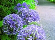 Encyklopedia roślin: Kolorowa wiosna w Hampton Court   w glebi pergola