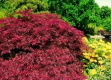 Encyklopedia roślin: Klon palmowy  Acer palmatum   Atropurpureum