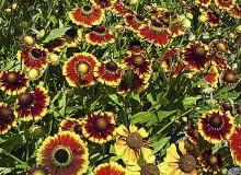 Encyklopedia roślin: dzielzany