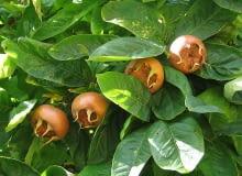 Encyklopedia roślin: Nieszpulka zwyczajna  inaczej jadalna  Mespilus ge