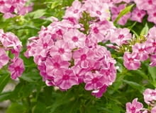Encyklopedia roślin: Byliny  ktore mozna rozmnazac wiosna przez podzial