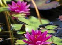 Encyklopedia roślin: Pod koniec lata liscie grzybieni moga zolknac i za