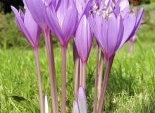 Encyklopedia roślin: Zimowit jesienny  podobnie jak krokus  najpiekniej
