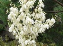 Encyklopedia roślin: Juka karolinska