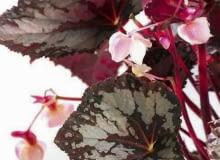 Encyklopedia roślin: BEGONIE KROLEWSKIE wiosna potrafia zakwitnac  ale
