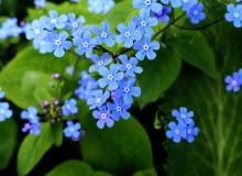 Encyklopedia roślin: Brunnera macrophhylla