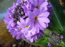 Encyklopedia roślin: Pierwiosnek zabkowany Primula denticulata