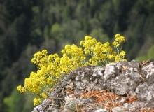 Encyklopedia roślin: Smagliczka gorska