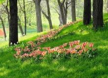 Encyklopedia roślin: Pasy tulipanow i narcyzow
