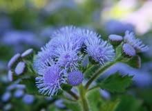 Encyklopedia roślin: Zeniszek meksykanski  Ageratum houstonianum syn  A