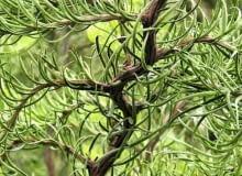 Encyklopedia roślin: MODRZEW JAPONSKI  DIANA  po 10 latach osiaga wysok