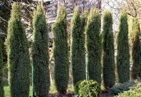 Encyklopedia roślin: Jalowiec pospolity  Juniperus Hibernica