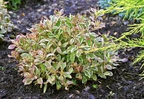 Encyklopedia roślin: Krzewuszka cudowna