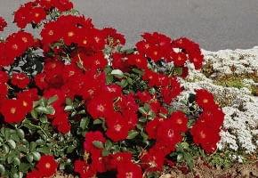 Encyklopedia roślin: Roza okrywowa  Austriana  Ma czerwone kwiaty
