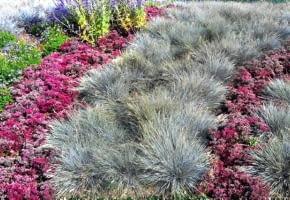 Encyklopedia roślin: Trawy ozdobne  Prosta dwukolorowa kompozycja  siwe
