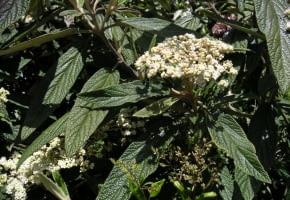 Encyklopedia roślin: Kalina sztywnolistna  Viburnum rhytidophyllum  ma