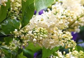 Encyklopedia roślin: Lilak pospolity  Primrose   synonim  Yellow Wonder
