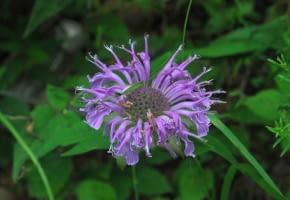 Encyklopedia roślin: Pysznoglowka deta  Monarda fistulosa  ma fioletowe