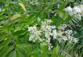 Encyklopedia roślin: Ligustr chinski  Ligustrum sinense  ma biale kwiat