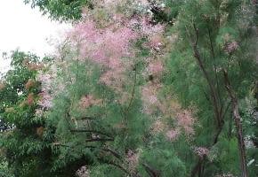 Encyklopedia roślin: Tamaryszek rozgaleziony  Tamarix ramosissima