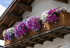 Encyklopedia roślin: Surfinia  kwiaty balkonowe