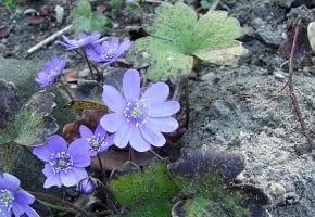 Encyklopedia roślin: Przylaszczka siedmiogrodzka