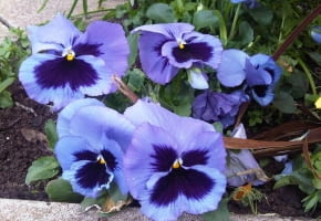Encyklopedia roślin: Fiolek ogrodowy  bratek ogrodowy  Viola x wittrock
