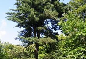 Encyklopedia roślin: Sosna wejmutka  Pinus strobus