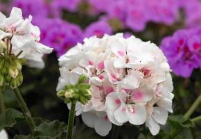Encyklopedia roślin: RED FOX SAVANNAH WHITE SPLASH  to nowa odmiana pe