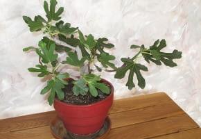 Encyklopedia roślin: Figowiec pospolity  Ficus carica