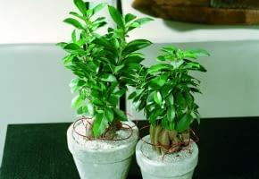 Encyklopedia roślin: Figowiec tepy  Ficus retusa