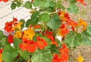 Encyklopedia roślin: NASTURCJA Tropaeolum majus  tworzy kwiaty w ognist