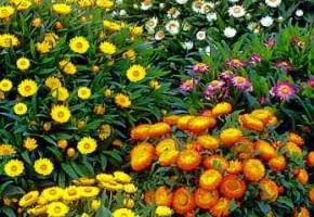 Encyklopedia roślin: Kocanka ogrodowa  niesmiertelnik