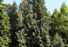 Encyklopedia roślin: Zywotnik olbrzymi  Thuja plicata