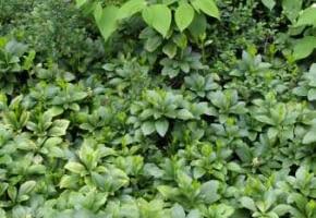 Encyklopedia roślin: Runianka japonska