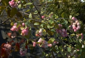 Encyklopedia roślin: Snieguliczka Doorenbosa  Symphoricarpos x doorenbo
