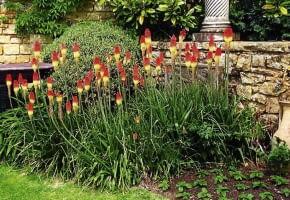Encyklopedia roślin: Trytoma ogrodowa  Kniphofia hybrida   Ma w zalezno