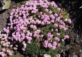 Encyklopedia roślin: Zawciag jalowcolistny  Armeria caespitosa  syn  A