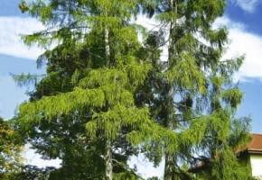 Encyklopedia roślin: Dziesiecioletnie okazy modrzewia europejskiego   i