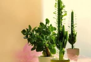 Encyklopedia roślin: Wilczomlecz trojzebrowy  Euphorbia trigona  z praw
