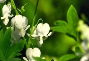 Encyklopedia roślin: Kwiaty serduszki okazalej  Alba  nie ustepuja wiel